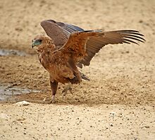 Juvenile Bataleur Eagle testing his wings by Christa Knijff