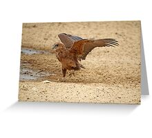 Juvenile Bataleur Eagle testing his wings Greeting Card