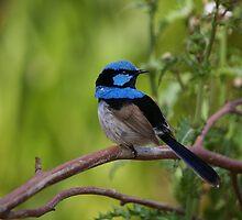Superb Fairy Wren - Blue Cape by Norman Repacholi