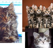 MY CAT VERSES THE MAINE COONS by (AUDEAN)  NICK   G BIGGS