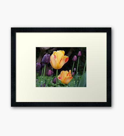Beautiful Tulips Framed Print