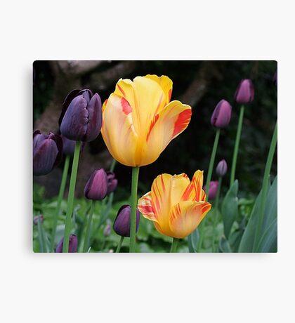 Beautiful Tulips Canvas Print