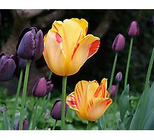 Beautiful Tulips Photographic Print
