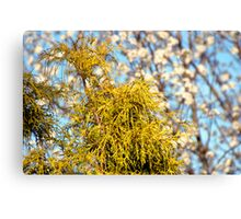Golden Mop over Bradford Pear in Early Spring. Canvas Print
