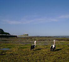Preening Pelicans by reflector