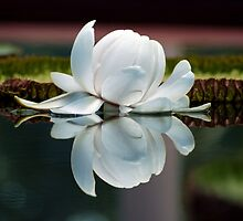 Lilly of the Water by Julie Thomas