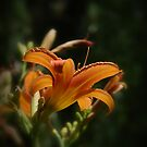 Daylily by Ron Alcorn