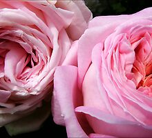 Pink Roses by AlisonOneL