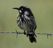 New Holland Honeyeater on the wire by kayinga