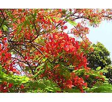 Poinciana Tree #1 Photographic Print