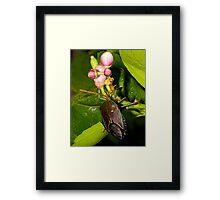 Shield Bug Framed Print