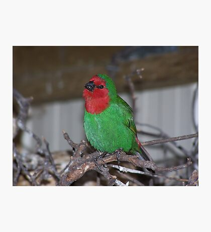 Red faced Parrot Finch Photographic Print
