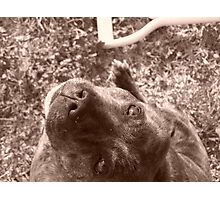 Staffie in sepia Photographic Print