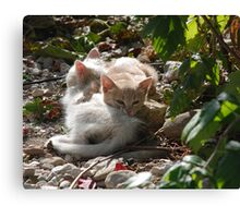 Kittens Enjoying Sunshine  Canvas Print