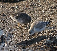 Purple Sandpiper & Sanderling by Robert Abraham
