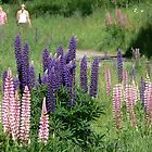 Lupins by PhotosByG