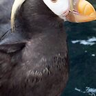 Tufted puffin by JenniferLouise