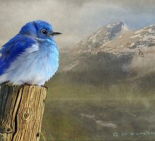 return to the high country mountain bluebird by R Christopher  Vest