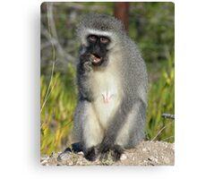 Vervet Monkey, South Africa Canvas Print