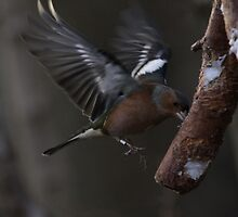 Chaffinch mid air by Michael Oubridge