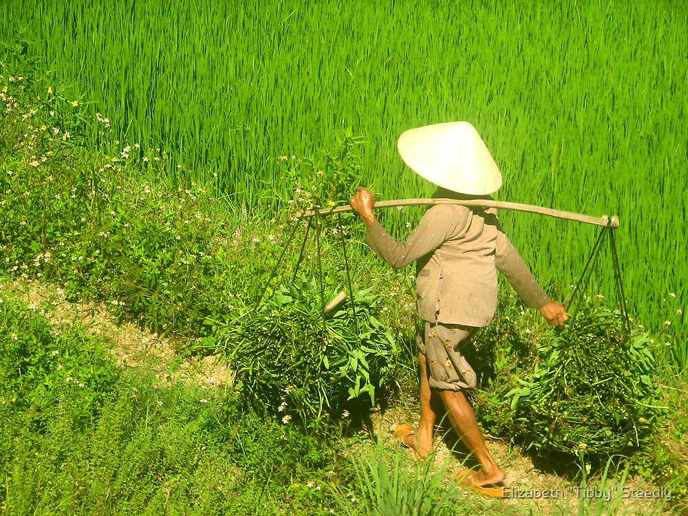 Morning in the Rice Fields by Tibby Steedly