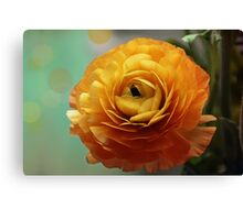 Ranonculus flower Canvas Print