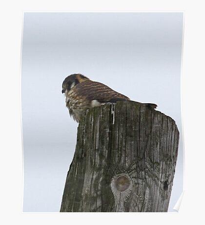 Perched Predator: American Kestrel Poster
