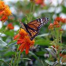 Winter Monarch by Zachary Matney
