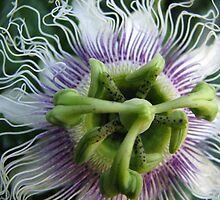 Passion Flower by Robert Jenner