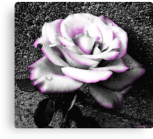 Blushing White Rose Canvas Print