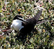 Bridled Tern by Lightfixture