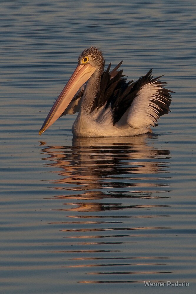 Pelican at Sunset 2 by Werner Padarin