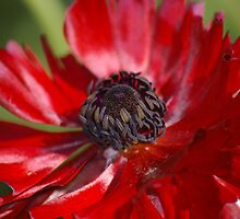 Red Velvet Flower by Tammy Roberts