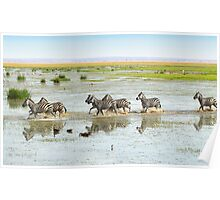 Zebras Crossing The Swamp Poster