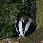 Badger by wildlifephoto