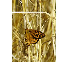 Common Brown Butterfly  Photographic Print