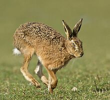 Running Hare by wildlifephoto