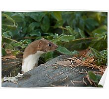 Inquisitive Stoat Poster
