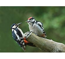 Great Spotted Woodpeckers Photographic Print