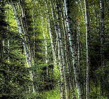 """White Birch Forest"" by raberry"