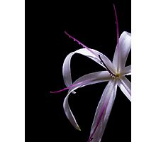 Spider lily Photographic Print