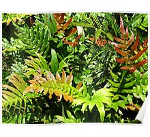 Blechnum cartilagineum - known as the Gristle Fern or Soft Water Fern Poster