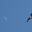osprey moon by RichImage