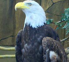 Eagle - Point Defiance Zoo - Tacoma, WA by KustomByKris