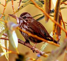 Song Sparrow by Chuck Gardner