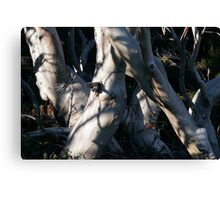 Snowgum Trunks Canvas Print