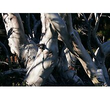 Snowgum Trunks Photographic Print
