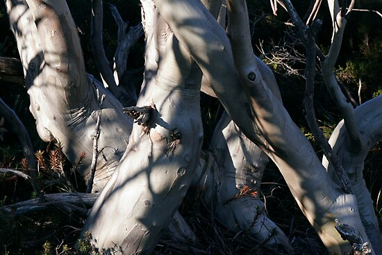Snowgum Trunks by Stanton Hooley