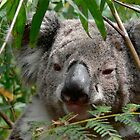 Koala by Stanton Hooley