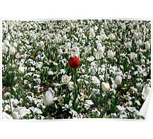 Lonely Red Tulip Poster